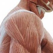 Впервые были выращены сокращающиеся искусственные мышцы